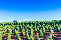 Christmas trees on the red ground in the farm ,country side. Stock Photo