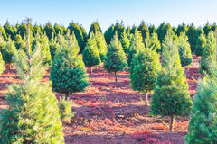 Christmas trees on the red ground in the farm ,country side. Royalty Free Stock Images