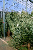 Christmas trees for sale. Indoor nursery with Christmas trees for sale Stock Image