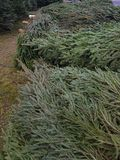 Christmas trees for sale in the market. royalty free stock images