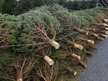 Christmas trees for sale in the street. royalty free stock photo