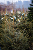 Christmas trees for sale. Vertical photo Royalty Free Stock Image