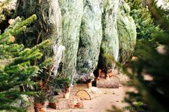 Christmas trees shopping business market growers December. Inside the world of the fresh Nordmann pine tree. Packed, wrapped and ready for sale : our customer stock image