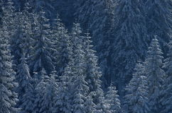 Christmas trees in the snow Royalty Free Stock Images