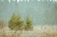 Christmas trees in a snowstorm Stock Images