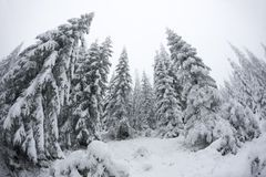 Christmas trees standung tall in the cold weather Stock Photo