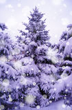 Christmas Trees under Beautiful Snow Cover Stock Photo