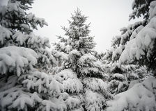 Christmas Trees under Beautiful Snow Cover. Winter Landscape Stock Photo