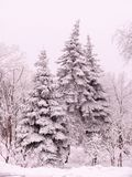 Christmas trees under a snow blanket stock photography