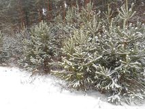 Christmas trees under the snow Stock Photo