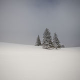 Christmas trees in winter in black forest Stock Images