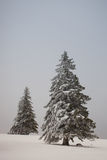 Christmas trees in winter in black forest Stock Photography