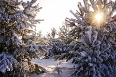 Christmas trees in the winter forest in the sun stock images