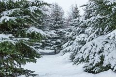 Christmas trees in the winter forest royalty free stock image