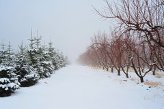 Christmas Tress and Apple Trees. Snow covered trees of an Apple Orchard and a Christmas tree grove in winter Royalty Free Stock Images