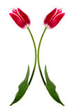 Christmas tulips Royalty Free Stock Photo