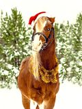 Christmas Welsh pony in a red cap stock photo