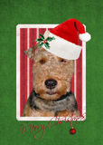 Christmas Welsh Terrier Stock Photo