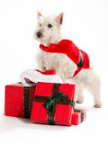Christmas West Highland White Terrior Stock Photos
