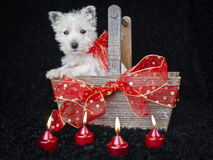 Christmas Westie Stock Images
