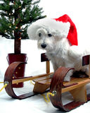 Christmas Westie. West Highland Terrier dressed in a Santa Claus hat, sitting on a sled with a Christmas tree in background Royalty Free Stock Images