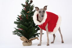 Christmas whippet stock images