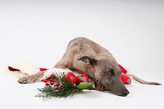 Christmas whippet Stock Photography