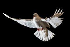 Christmas white bird flying on a black background. White dove, flight Stock Photos