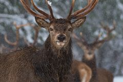 Christmas Wildlife Story.Portrait Of Lonely Stag Under Falling Snowflakes. Great Adult Red Deer With Careful Look Close-Up. Beloru royalty free stock photos