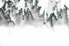 Christmas winter background. Fir tree branch covered with snow in winter day royalty free stock images