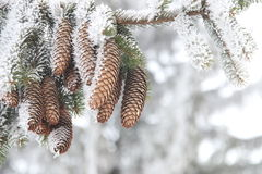 Christmas or winter background, Frost covered fir tree with cones Stock Image