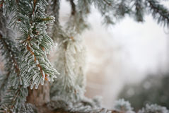 Christmas, winter background with frosty pine tree Stock Photography