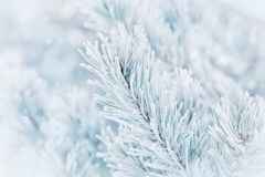 Christmas winter background from pine tree covered with hoarfrost, frost or rime in snowfall. Lovely landscape of nature. Royalty Free Stock Photos
