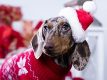 Christmas dachshund puppies. Christmas wreath on neck dachshund puppy Royalty Free Stock Image