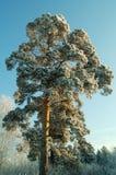 Christmas, Xmas. New Year, forest, wood, hoar-frost, rime, snow; slush, melting snow, winter, pine, pine-tree Stock Image