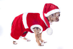 christmas Xmas dog Royalty Free Stock Photo