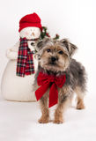 Christmas Yorkie-Poo. An adorable Yorkie-Poo in a Christmas scene wearing a big red bow Stock Photo