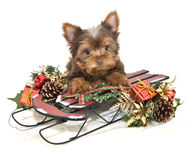 Christmas Yorkie Puppy Royalty Free Stock Images