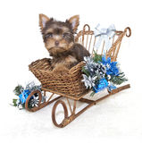 Christmas Yorkie Puppy Stock Image