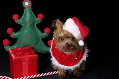 Christmas Yorkshire dog. Little Yorkshire terrier dog dressed for christmas Royalty Free Stock Image