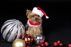 Christmas Yorkshire dog. Little Yorkshire terrier dog dressed up for christmas sitting in middle of ornaments Royalty Free Stock Image