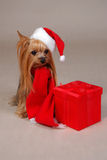 Christmas Yorkshire dog. Yorkshire-Terrier dressed up for Christmas Royalty Free Stock Photo