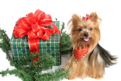 Christmas Yorkshire Terrier Stock Photography