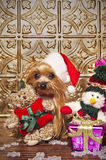 Christmas yorkshire terrier dog. Yorkshire terrier dog dressed like santa claus Royalty Free Stock Image