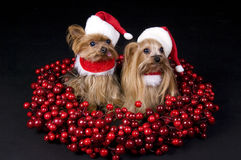 Christmas Yorkshire terrier dogs. Two little Yorkshire terrier dogs dressed up for christmas sitting in middle of cranberries crown Royalty Free Stock Photo