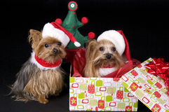 Christmas Yorkshire terrier dogs. Two little Yorkshire terrier dogs dressed up for christmas. One sitting in gift box Stock Photography