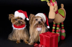 Christmas Yorkshire terrier dogs. Two little Yorkshire terrier dogs dressed up for christmas Royalty Free Stock Photo