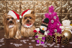 Christmas yorkshire terrier dogs. Yorkshire terrier dogs dressed like santa claus Royalty Free Stock Image