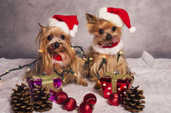 Christmas yorkshire terrier dogs. Yorkshire terrier dogs dressed like santa claus Stock Photo