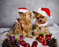 Christmas yorkshire terrier dogs. Yorkshire terrier dog dressed like santa claus telling a secret Stock Image